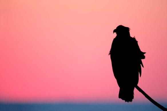 Bald-Eagle-pink-blue-sunset-SILH-YL8X0890-Homer,-Alaska